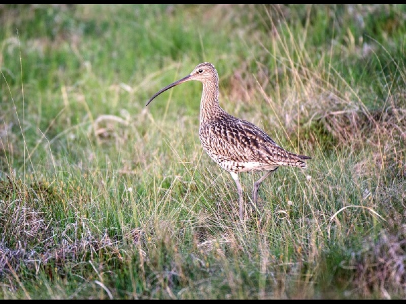 CURLEW by Cheryl Greenwood