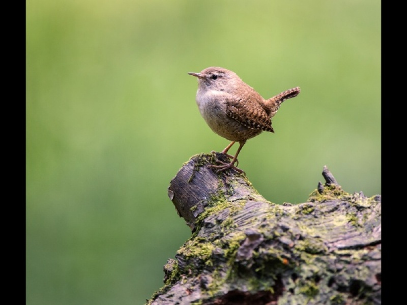 WREN by Cheryl Greenwood