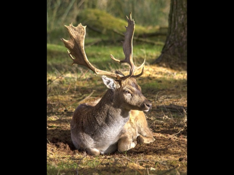 FALLOW STAG AT REST by James Chapman