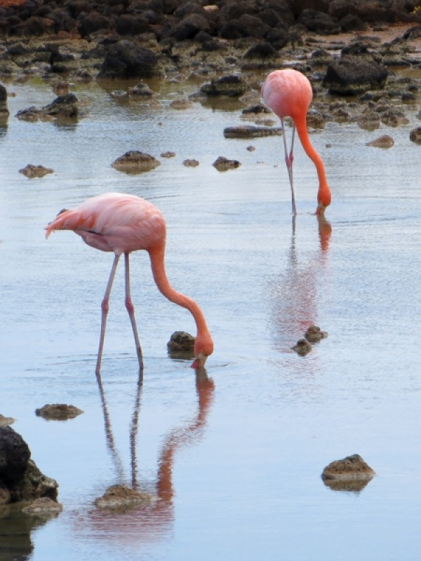 GREATER FLAMINGOS by Jennifer Blackburn