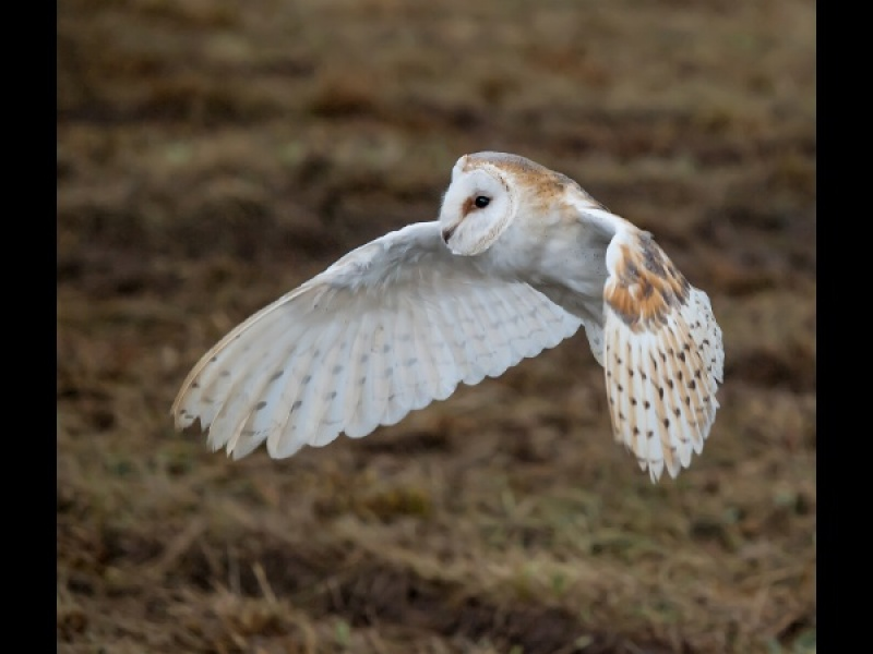 BARN OWL ON THE WING by Diane Thurlow