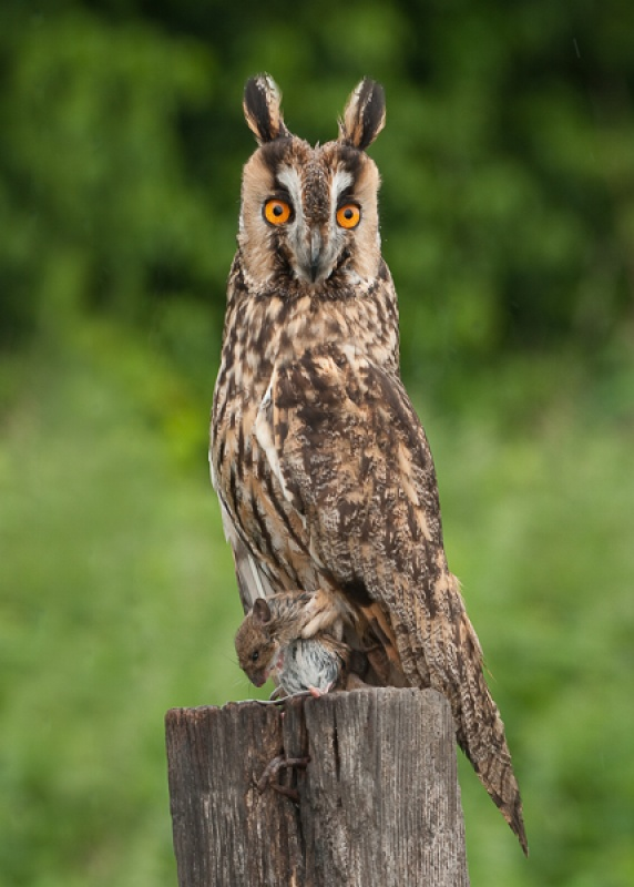 LONG-EARED OWL by Dorothy Challand
