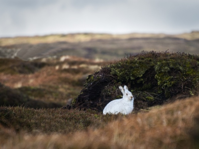 MOUNTAIN HARE by Terry Walker