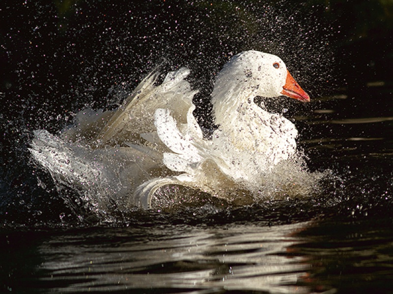 GOOSE BATH by Ken Lomas