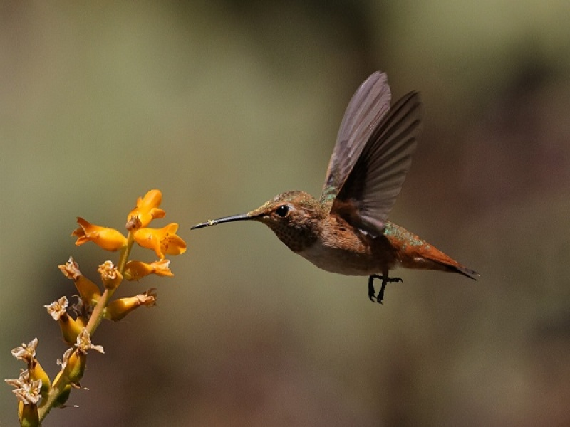 GOING FOR NECTAR by Malcolm Blackburn