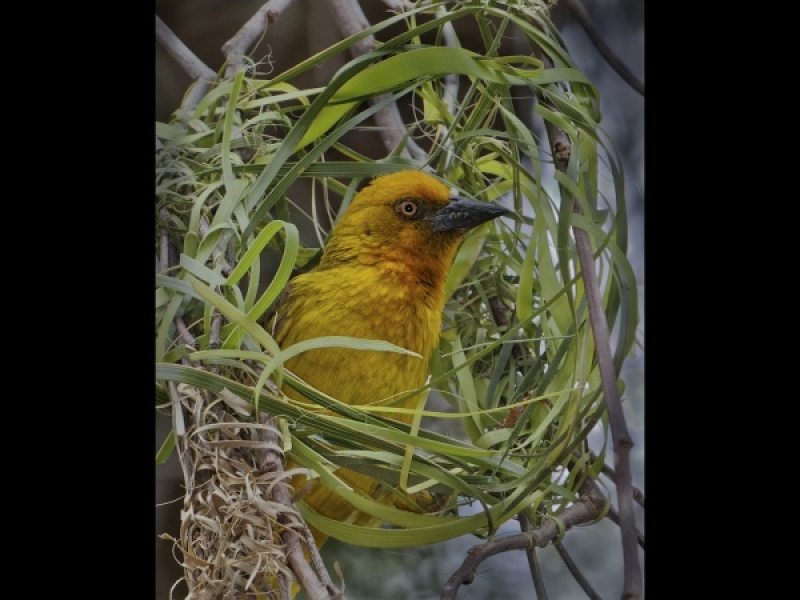WEAVER BIRD BUILDING A NEST by Pete Roberts