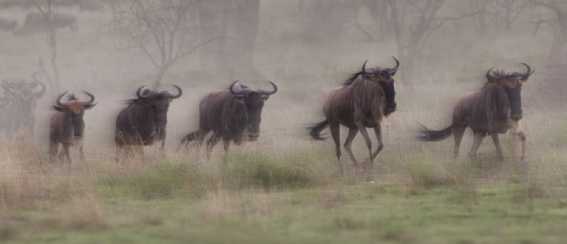 MIGRATING WILDEBEEST by Pete Roberts