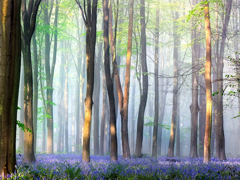 WEST WOODS BLUEBELLS by Phil Thompson