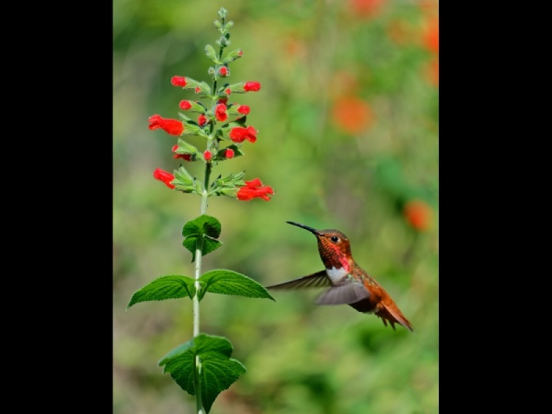 RUFOUS HUMMINGBIRD 1 by Malcolm Blackburn