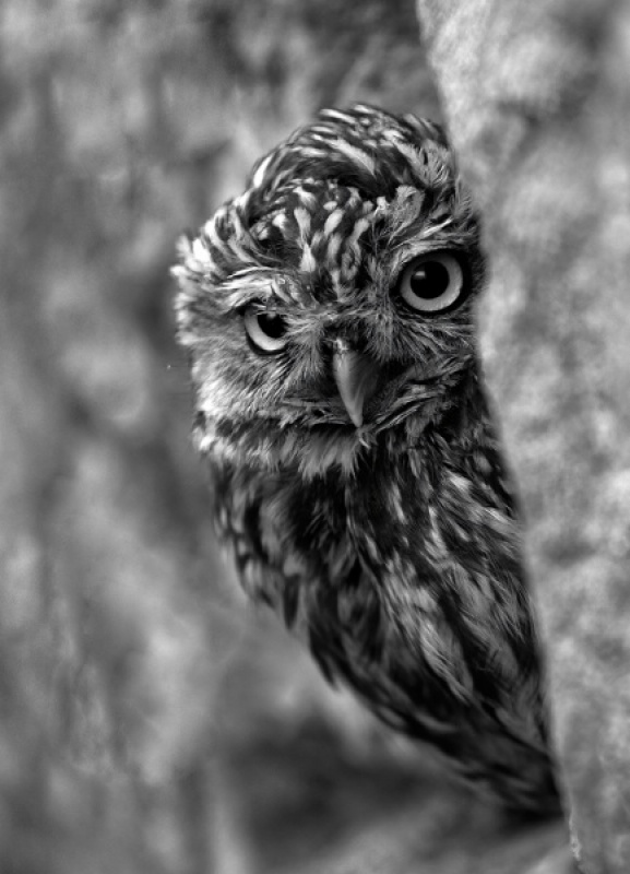 LITTLE OWL by Malcolm Blackburn
