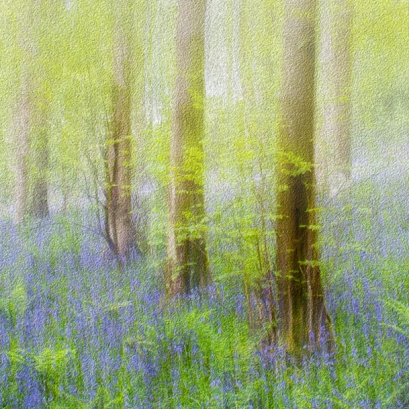 BLUEBELL IMPRESSIONS by Sue Hughes