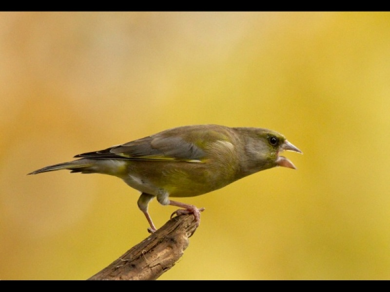 Aggresive Greenfinch