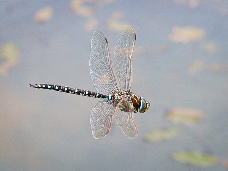 Common Hawker on patrol