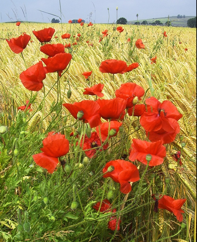 COMMON POPPIES by Ken Lomas