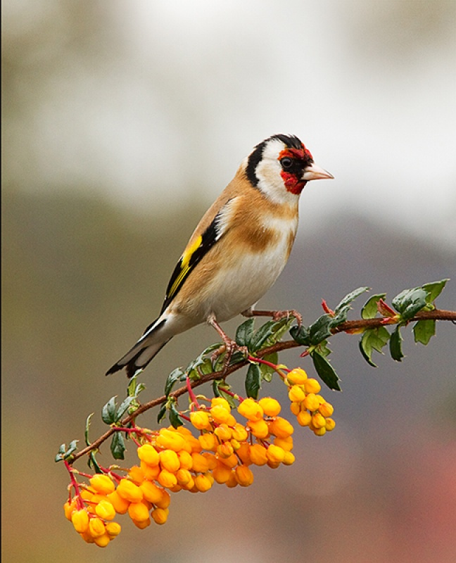 Goldfinch in an April shower