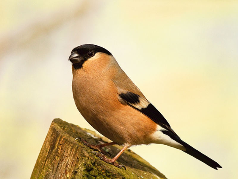 Female Bullfinch 1