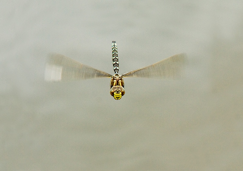 Common Hawker in Flight 1