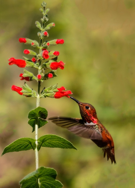Rufous Hummingbird Feeding