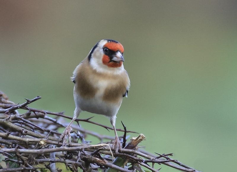 GOLDFINCH by Vic Brown (2)
