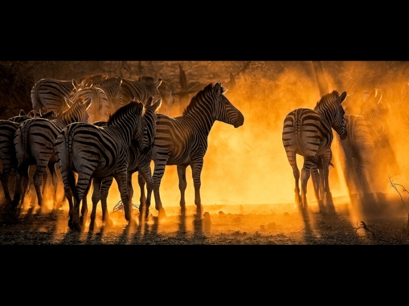 ZEBRAS AT SUNRISE by Malcolm Blackburn
