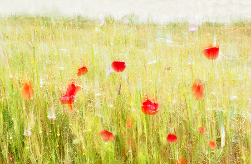 MIDSUMMER POPPIES by Lynne McPeake