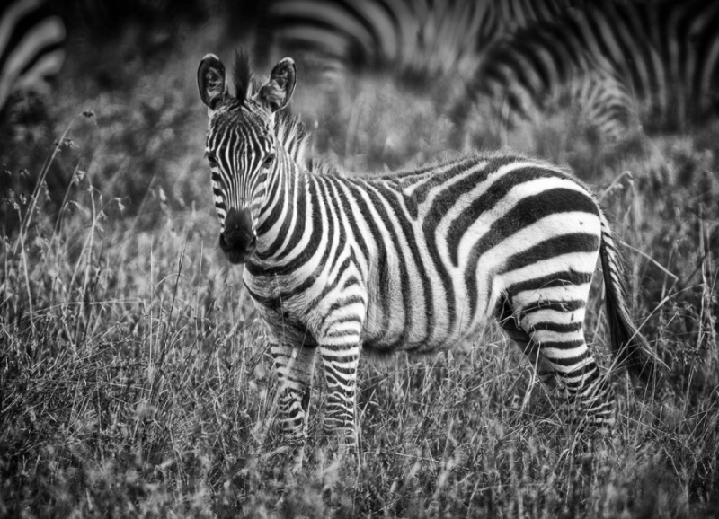 YOUNG ZEBRA by Pete Roberts-