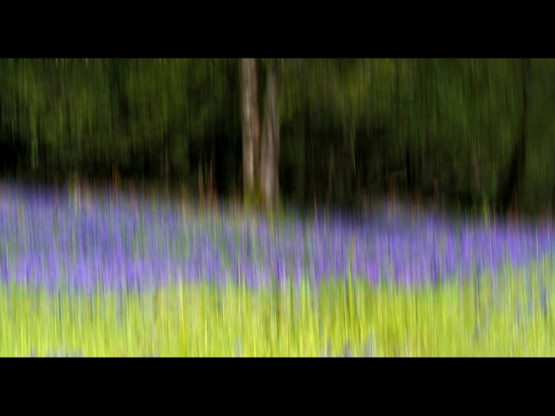 BLUEBELLS ON THE EDGE OF THE WOOD by Lynne McPeake