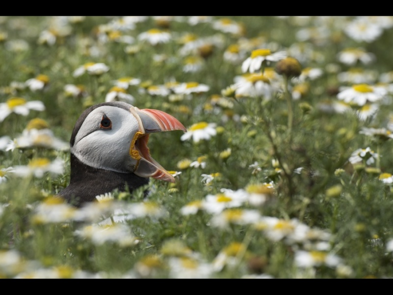 A LONE PUFFIN by James Street