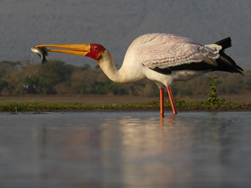 YELLOW-BILLED STORK WITH FISH by Jennifer Blackburn