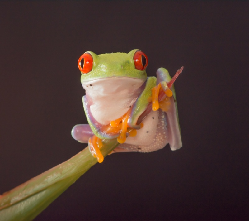 RED-EYED TREE FROG by Dorothy Challand