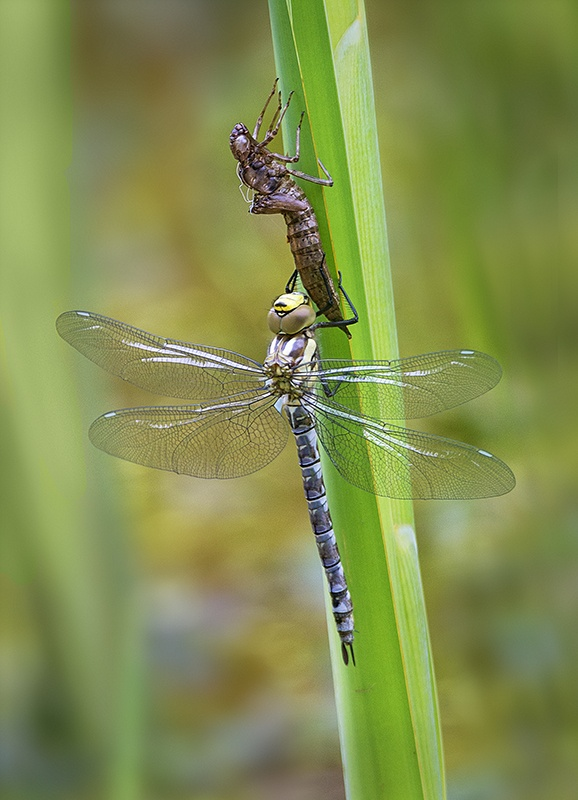 EMERGED MIGRANT HAWKER by Terry Walker