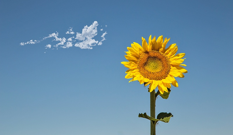SUNFLOWER AND CLOUD by Roger Holden