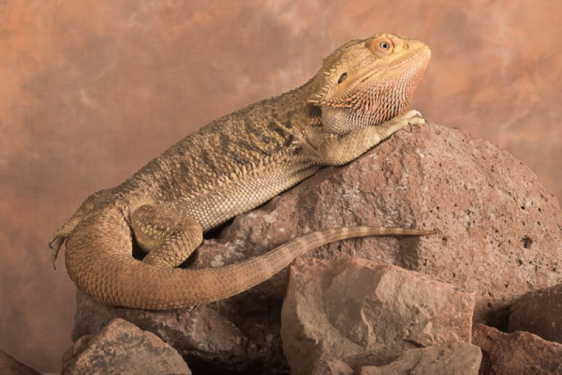 BASKING BEARDED DRAGON by Dorothy Challand
