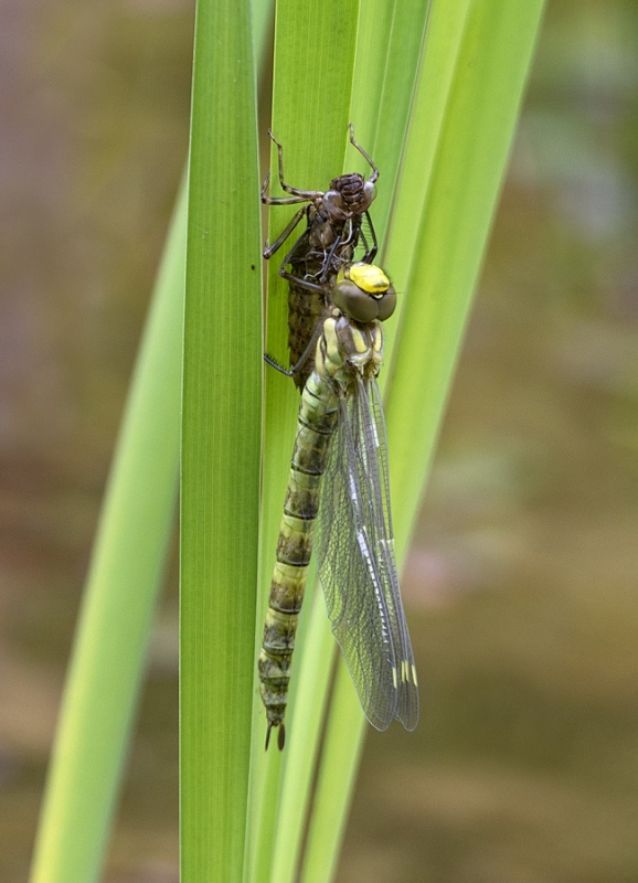 EMERGED MIGRANT HAWKERS No3 by Terry Walker