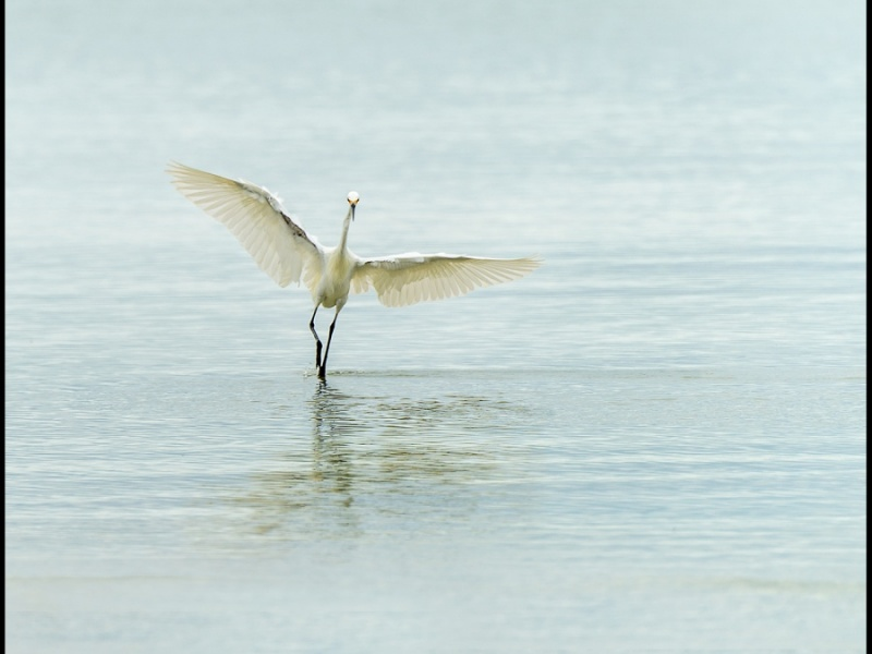 GREAT EGRET 1 by Cheryl Greenwood