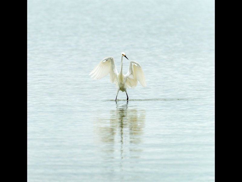 GREAT EGRET 2 by Cheryl Greenwood