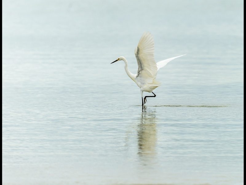 GREAT EGRET 3 by Cheryl Greenwood