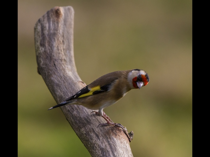 GOLD FINCH  by james chapman