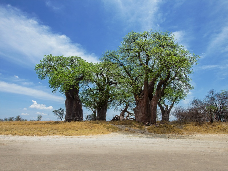 BAINES BAOBABS AT NXAI PAN by Pete Roberts