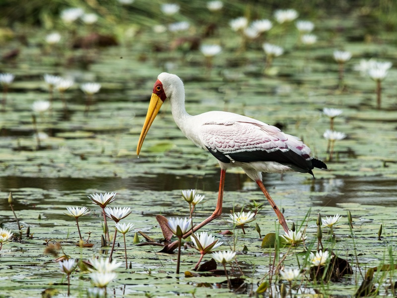 YELLOW BILLED STORK by Pete Roberts