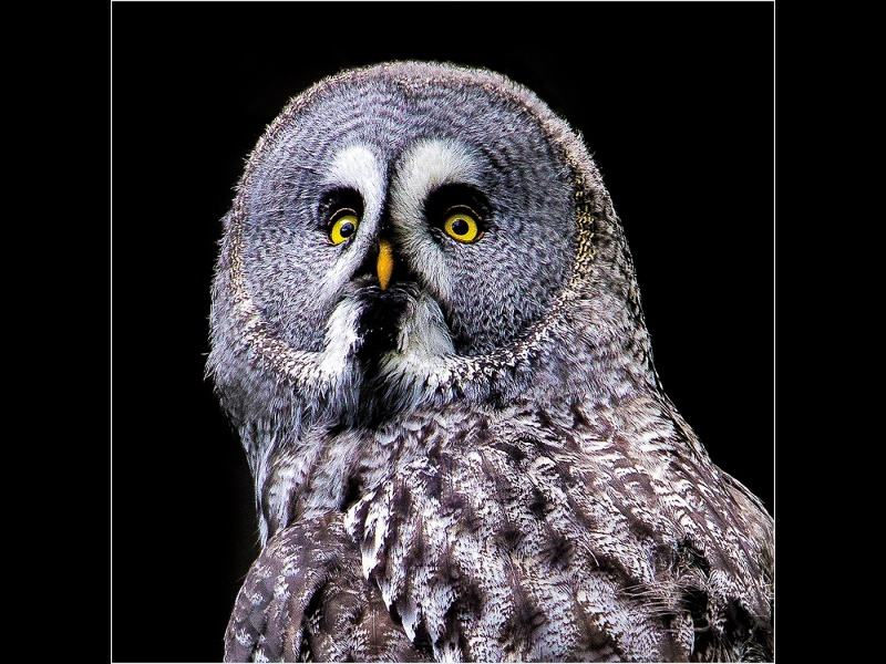 GREAT GREY OWL by Mark Anderson