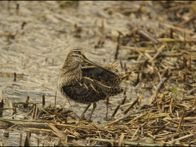 SNIPE NORFOLK COAST by andrew chapman