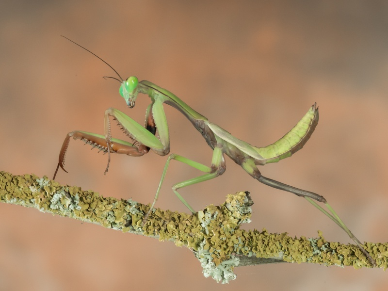 GREEN MANTIS by Dorothy Challand