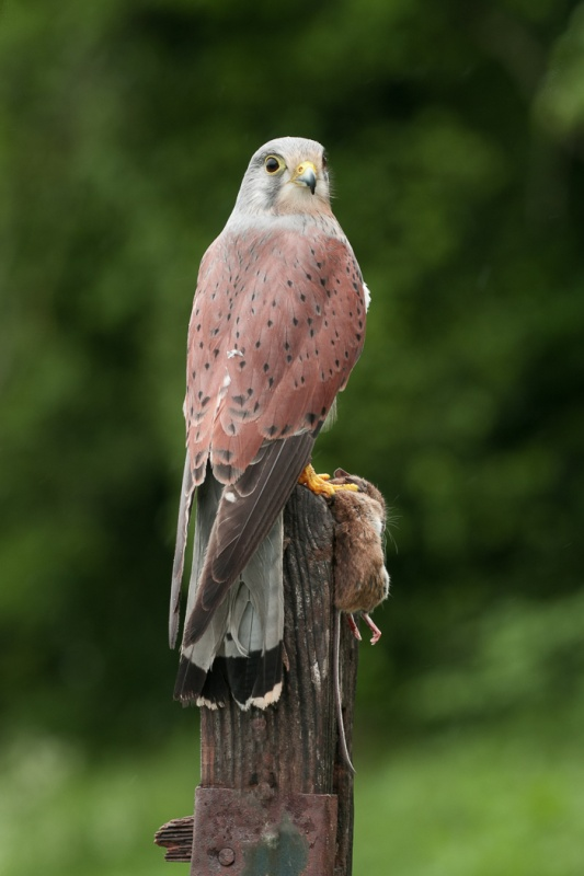 KESTREL AND PREY by Dorothy Challand