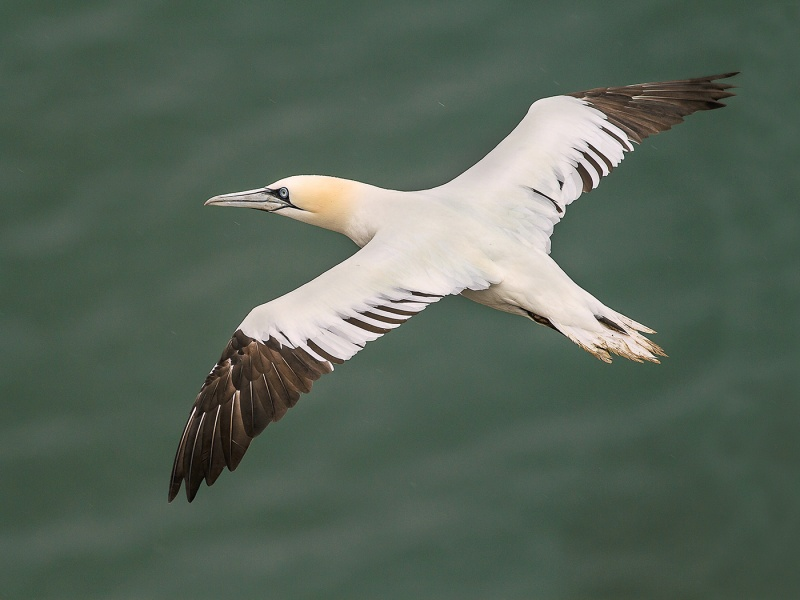 FOUR YEAR OLD GANNET by Ken Lomas