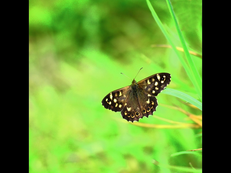 SPECKLED WOOD by Desi Lander