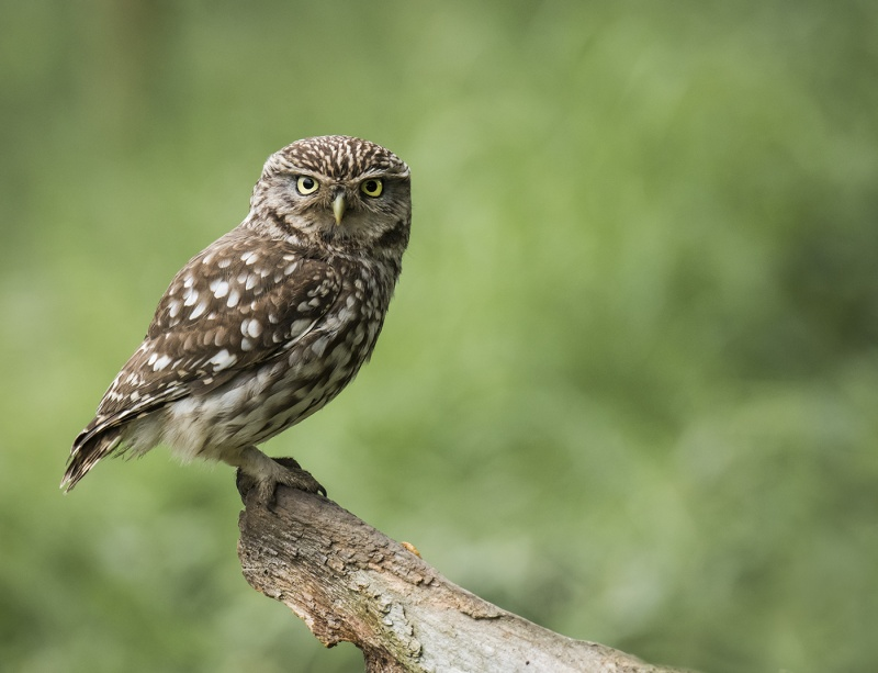LITTLE OWL By Charlotte Nuttall