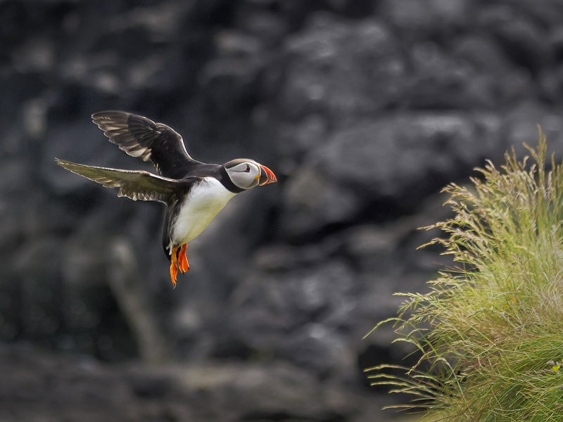 PUFIN IN LANDING MODE by Keith Gordon