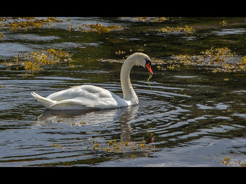 COASTAL SWAN by Keith Gordon