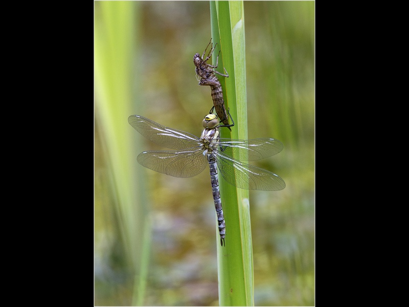 MIGRANT HAWKER WITH EXUVIA  by Terry Walker